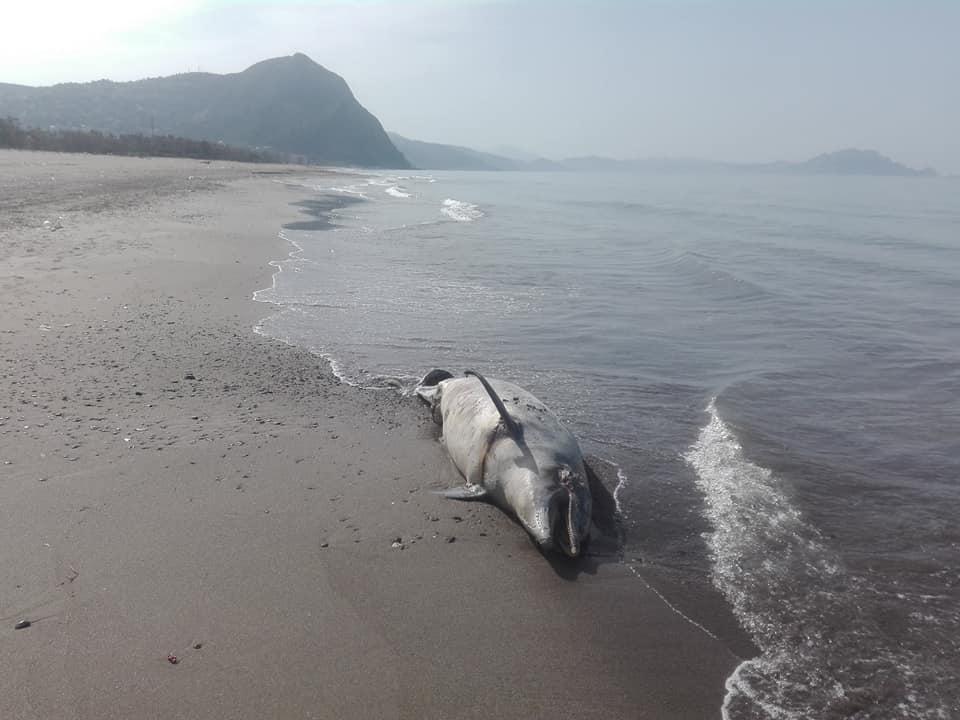 Aokas , lundi 13 Avril 2020: Un dauphin échoue sur l'une des plages d'Aokas 12397