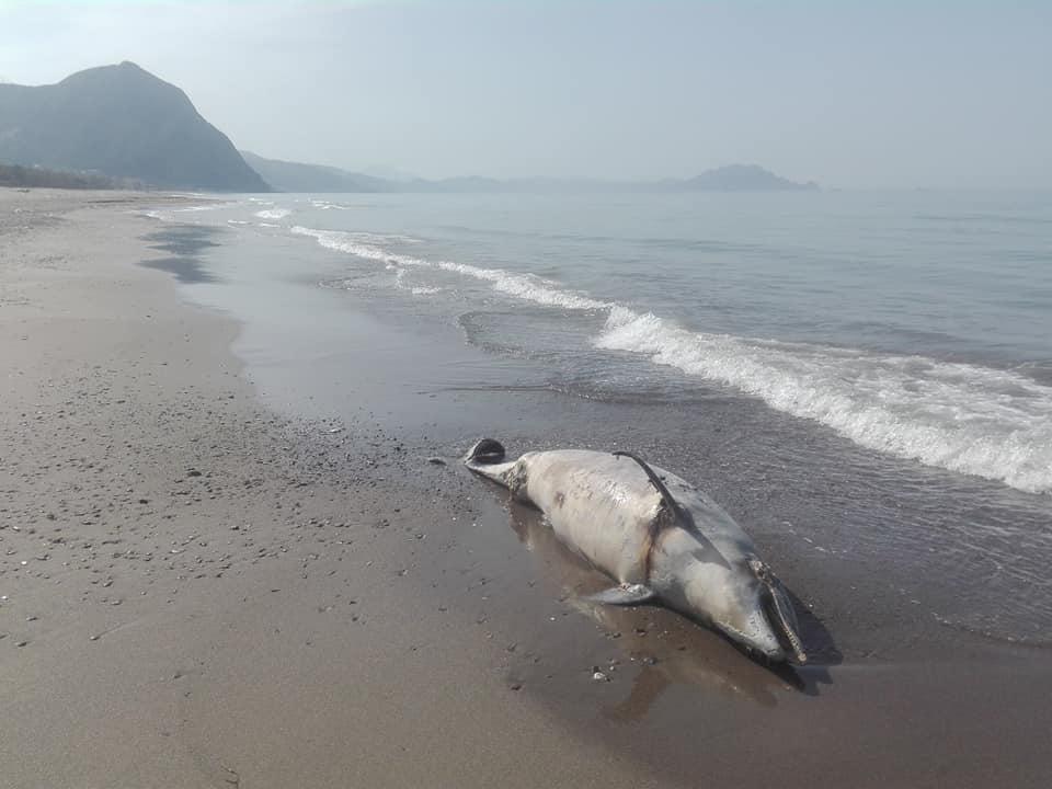 Aokas , lundi 13 Avril 2020: Un dauphin échoue sur l'une des plages d'Aokas 12398