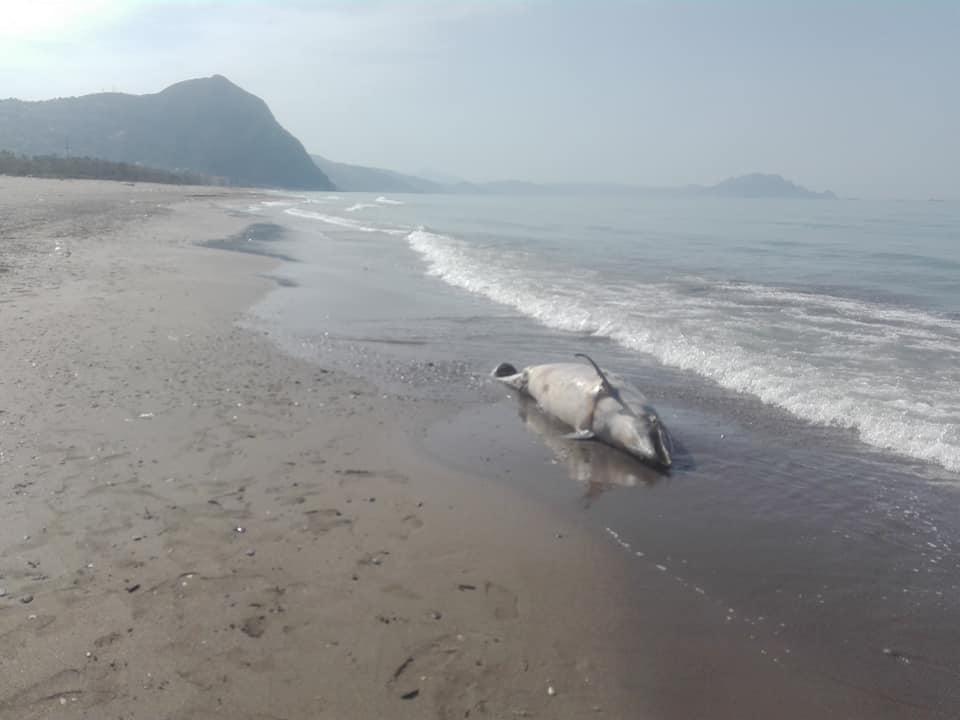Aokas , lundi 13 Avril 2020: Un dauphin échoue sur l'une des plages d'Aokas 12399