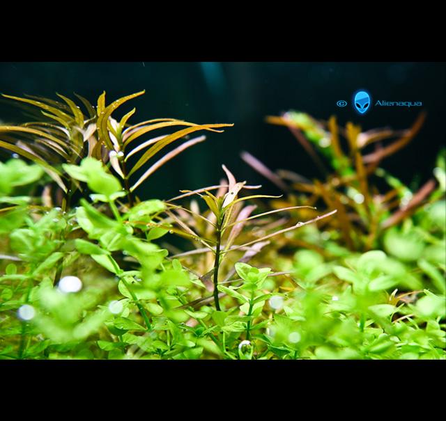 Index illustré de nos plantes d'aquarium Arcuat10