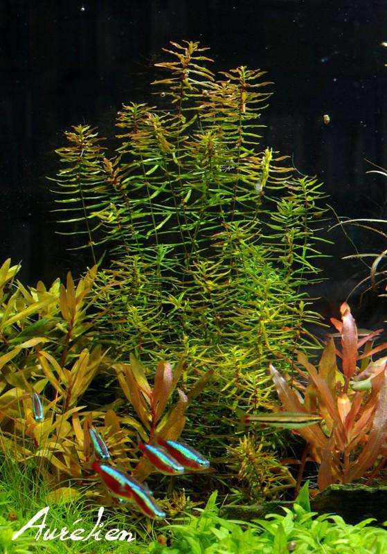 Index illustré de nos plantes d'aquarium Didipl12