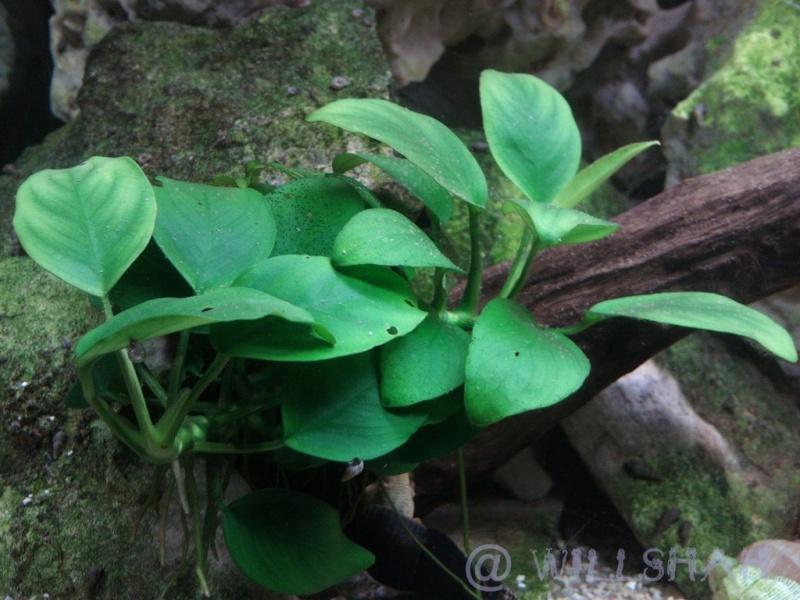 Index illustré de nos plantes d'aquarium Dsc02711