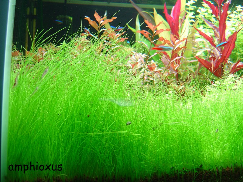 Index illustré de nos plantes d'aquarium Eleoch10