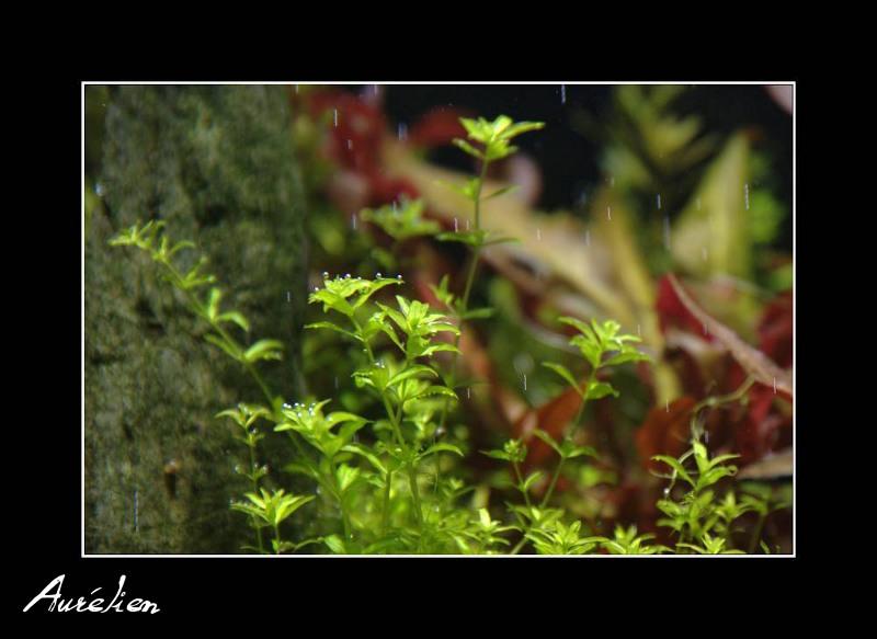 Index illustré de nos plantes d'aquarium Hemian10