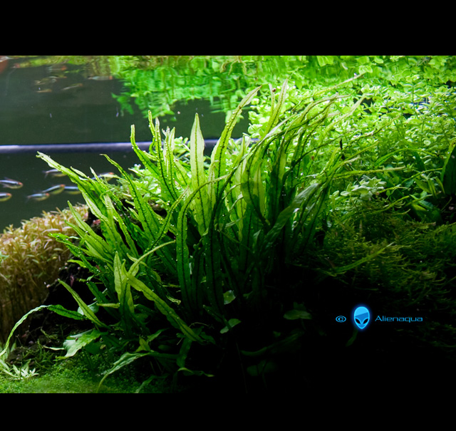 Index illustré de nos plantes d'aquarium - Page 2 M-need10