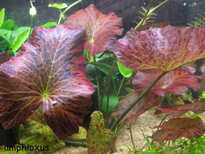 Index illustré de nos plantes d'aquarium Nympha10