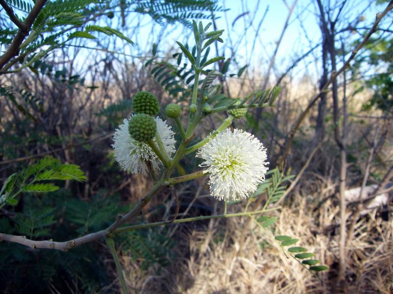Les belles envahisseuses. Mimosa10