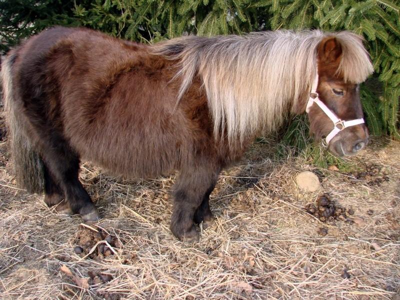 Bonjour:éleveuse de poneys Shetlands et Classics ponys Dsc00910