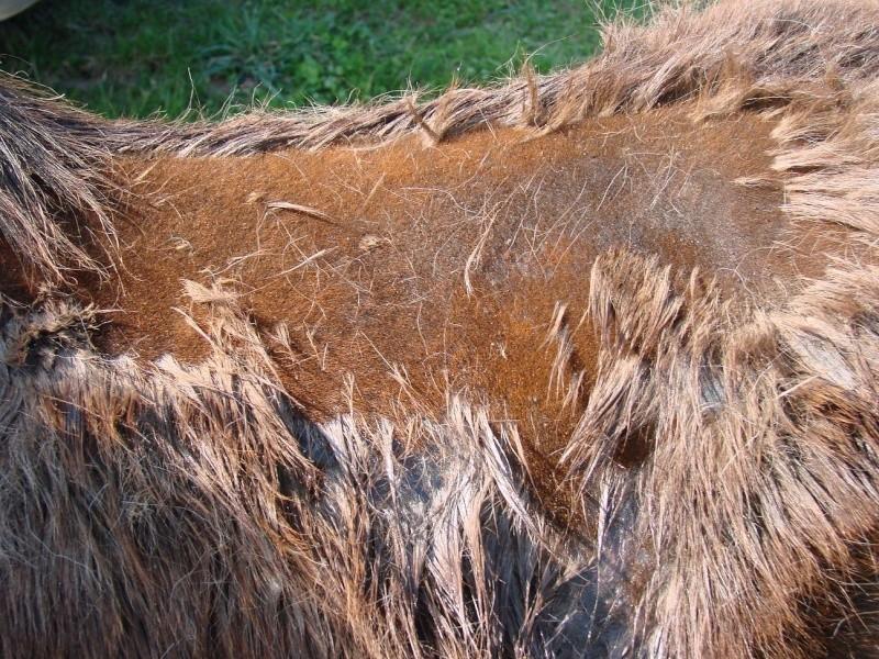 Dermatophilose, gale de boue - Page 2 Dsc00914