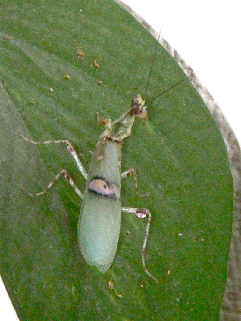 Creobroter pictipennis Creobr12