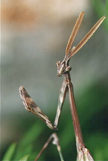 Empusa pennata mâle Empusa10