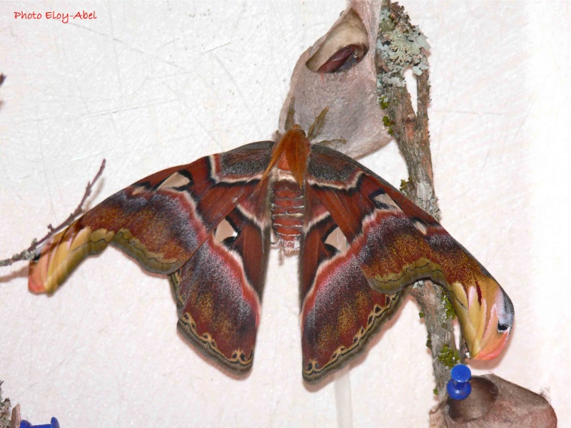 Attacus Atlas P1120110