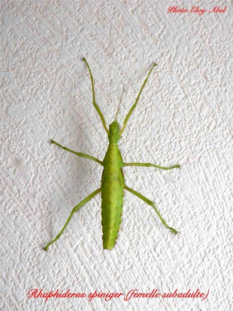 Rhaphiderus spiniger Rhaphi10