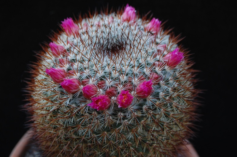 Mammillaria discolor - dark flowered variant 6140-211