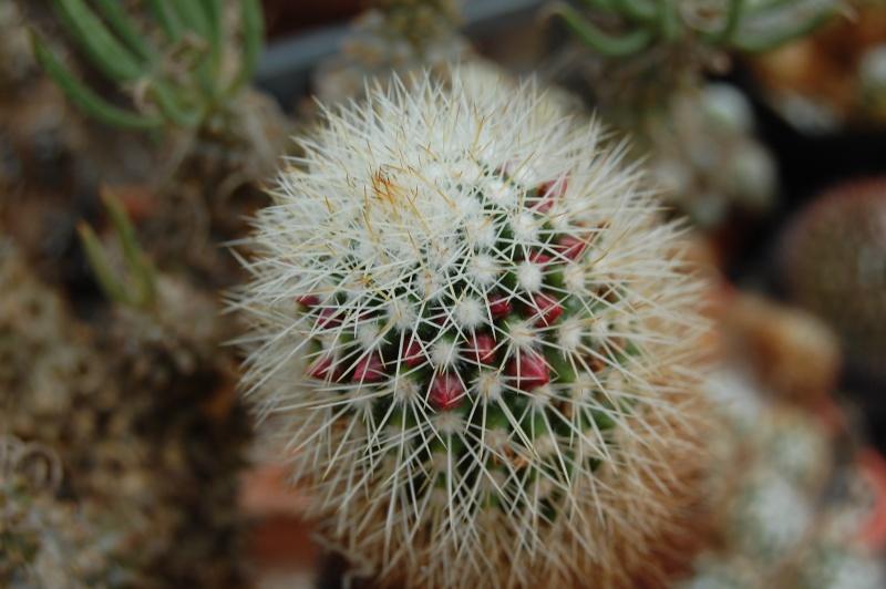 Mammillaria backebergiana Ernest10