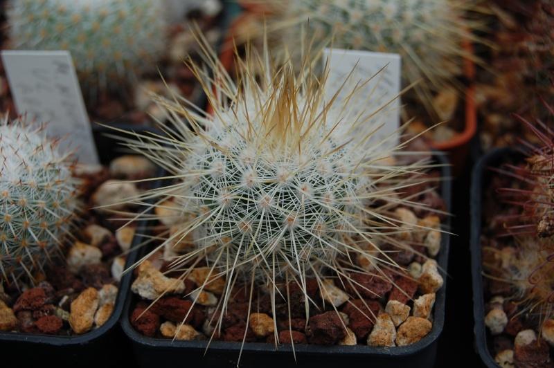 Mammillaria nunezii Nunezi11