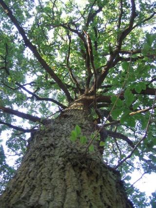 The Tall Oak