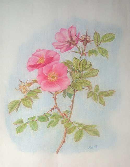 rosa en tous genre..... Rosa_m11