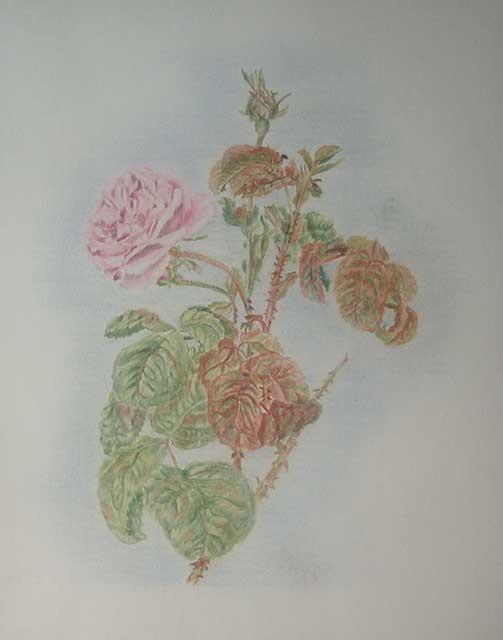 rosa en tous genre..... Rosa_p11