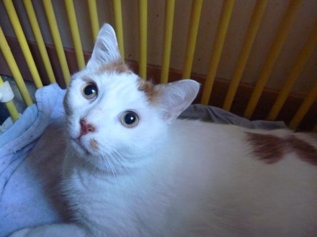 Caramel, 5 à 8 ans, blanc et roux, tout rond ! P1000514
