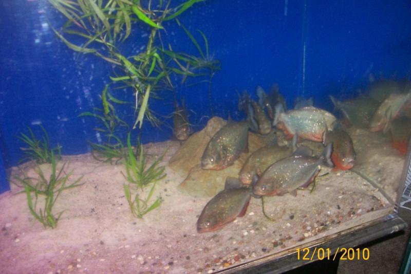 """10x7""""+ red belly Piranhas 100_2312"""