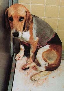 Les animaux dans les laboratoires Dog0410