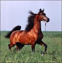 Le Dico des races de chevaux Anglo_10