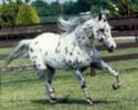 Le Dico des races de chevaux Appalo10