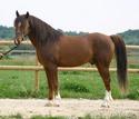 Le Dico des races de chevaux Arabe-10