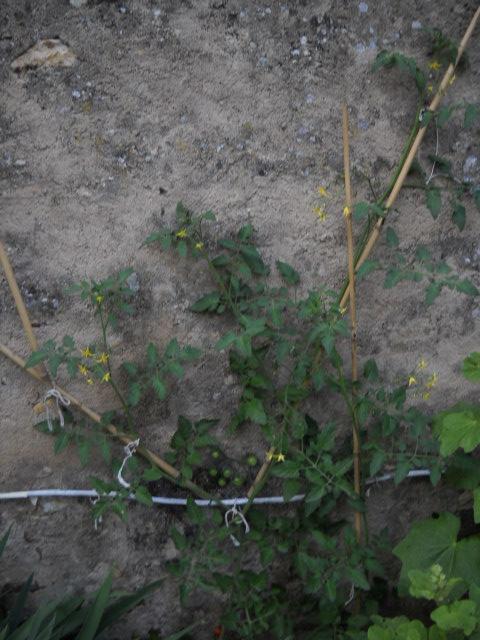 Tomates cerises ! Help ! T_ceri11