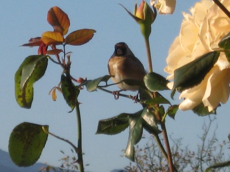 le royaume des rosiers...Vive la Rose ! 01410