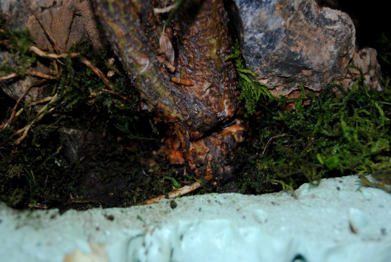 Root over rock/Clinging to rock- watering and inspection of planting made easy. March_10