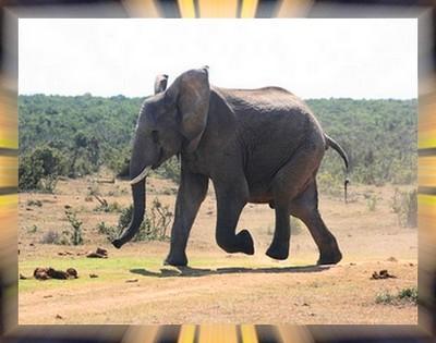 L'éléphant Elepha10
