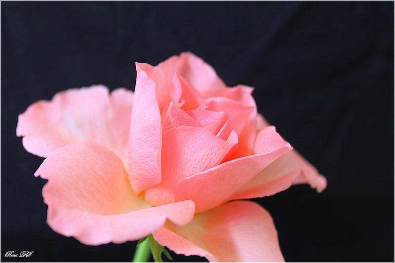Concours du mois de juin 2010. Thème : Au nom de la rose Img_1912