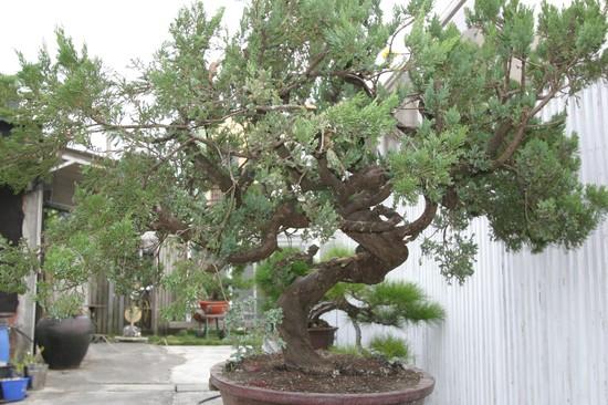 Nov 2009 Cheng,Cheng-Kung Bonsai school 01f11