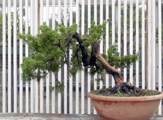 Nov 2009 Cheng,Cheng-Kung Bonsai school 01f12