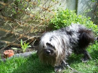 petit chien à long poils trouvé a lille 100_2115