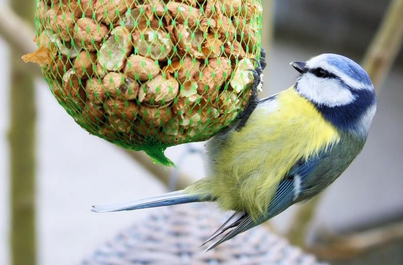 les oiseaux du jardin (fil ouvert) _mg_1910