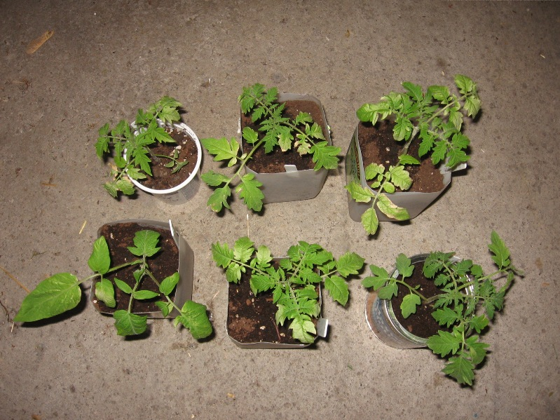 Discoloaration of tomato plant leaves White_10
