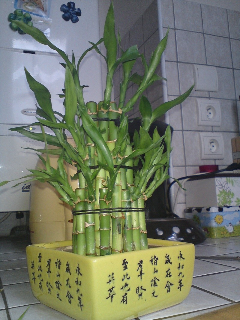 bambou lucky Dsc02112