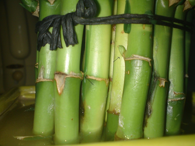 bambou lucky Dsc02113