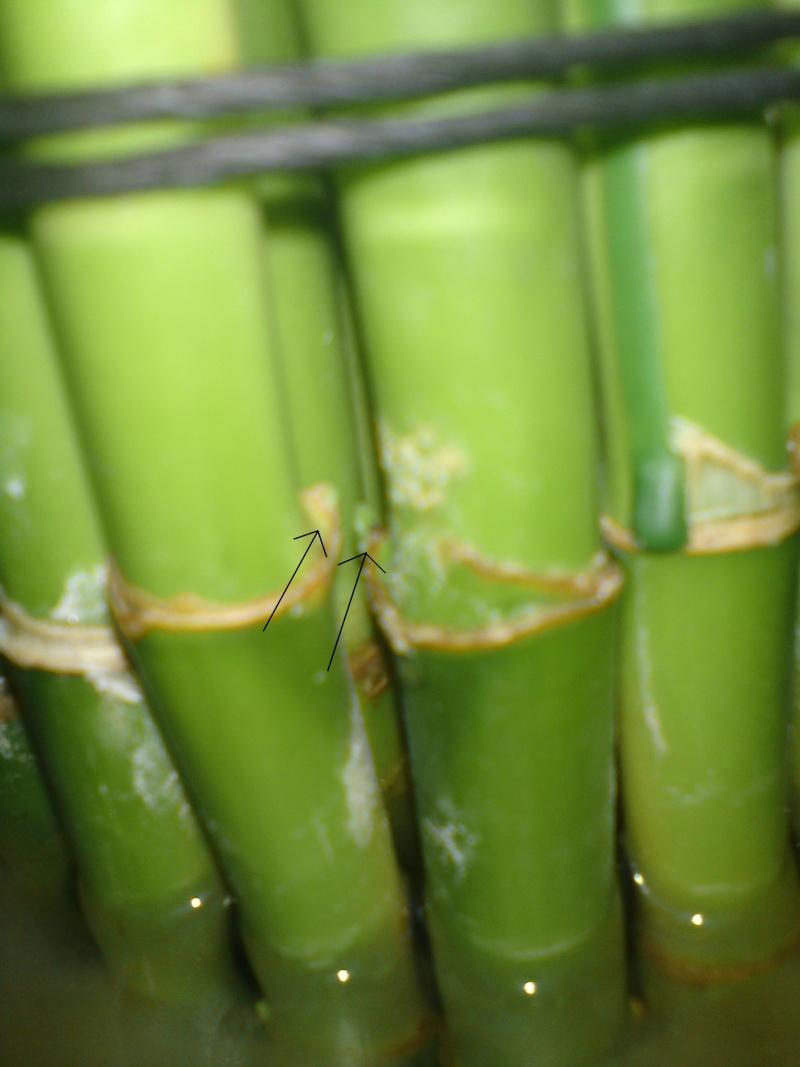 Bambou Lucky