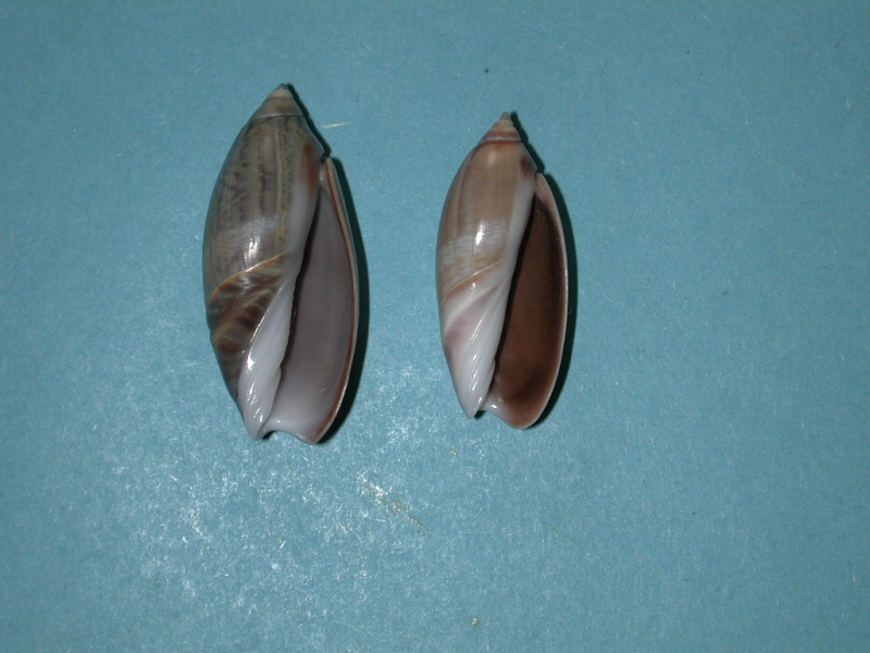 Agaronia griseoalba - (Martens, 1897) Agaron28