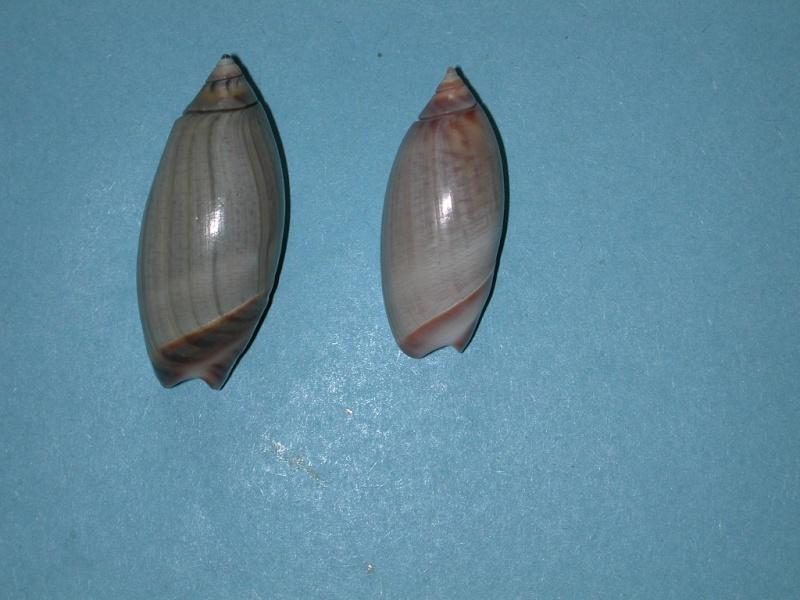 Agaronia griseoalba - (Martens, 1897) Agaron29