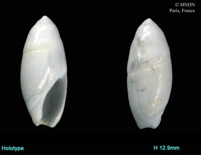 Amalda sp. (espèce restant à décrire) / Taltal, Antofagasta - Chili Amalda11