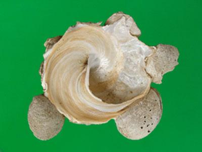 Xenophora minuta - Qi & Ma, 1986 Xenoph10