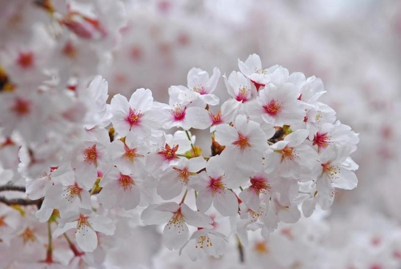 [Japon] - Les Sakuras 桜, les cerisiers symbole d'une nation 12141110