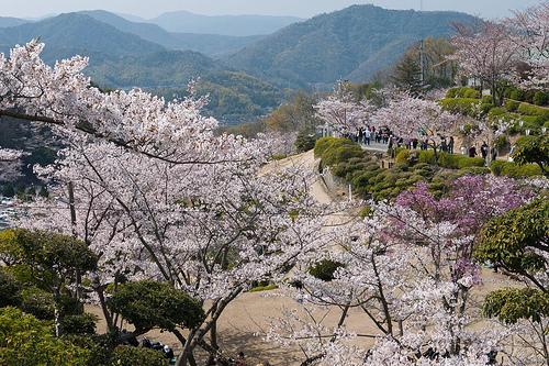 [Japon] - Les Sakuras 桜, les cerisiers symbole d'une nation 34472210