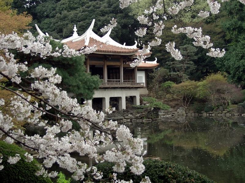 [Japon] - Les Sakuras 桜, les cerisiers symbole d'une nation Shinju10