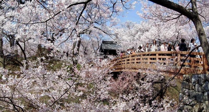 [Japon] - Les Sakuras 桜, les cerisiers symbole d'une nation Takato10